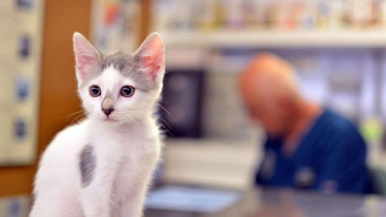 Cómo explorar la boca a un gato