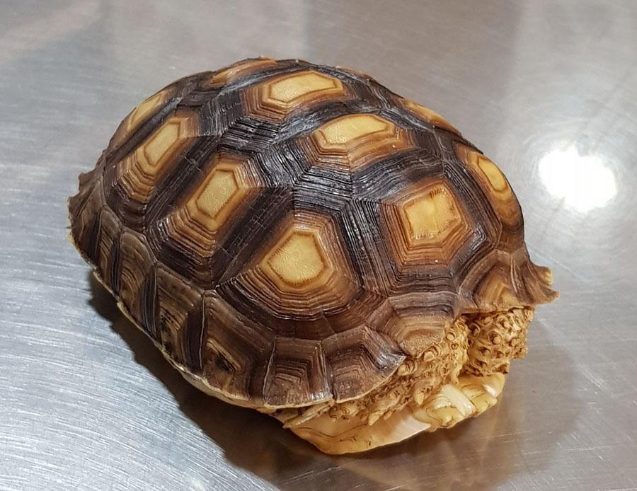 Tratamiento antiparasitario en una tortuga sulcata